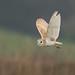 Barn Owl by S.Hatch