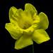 single yellow daffodil.