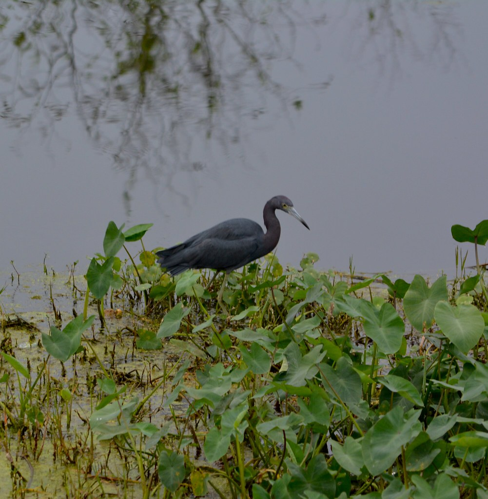 Birding in Lake Apopka North Shore Wildlife Drive