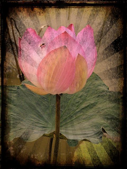 Pink Lotus in Pixlromatic