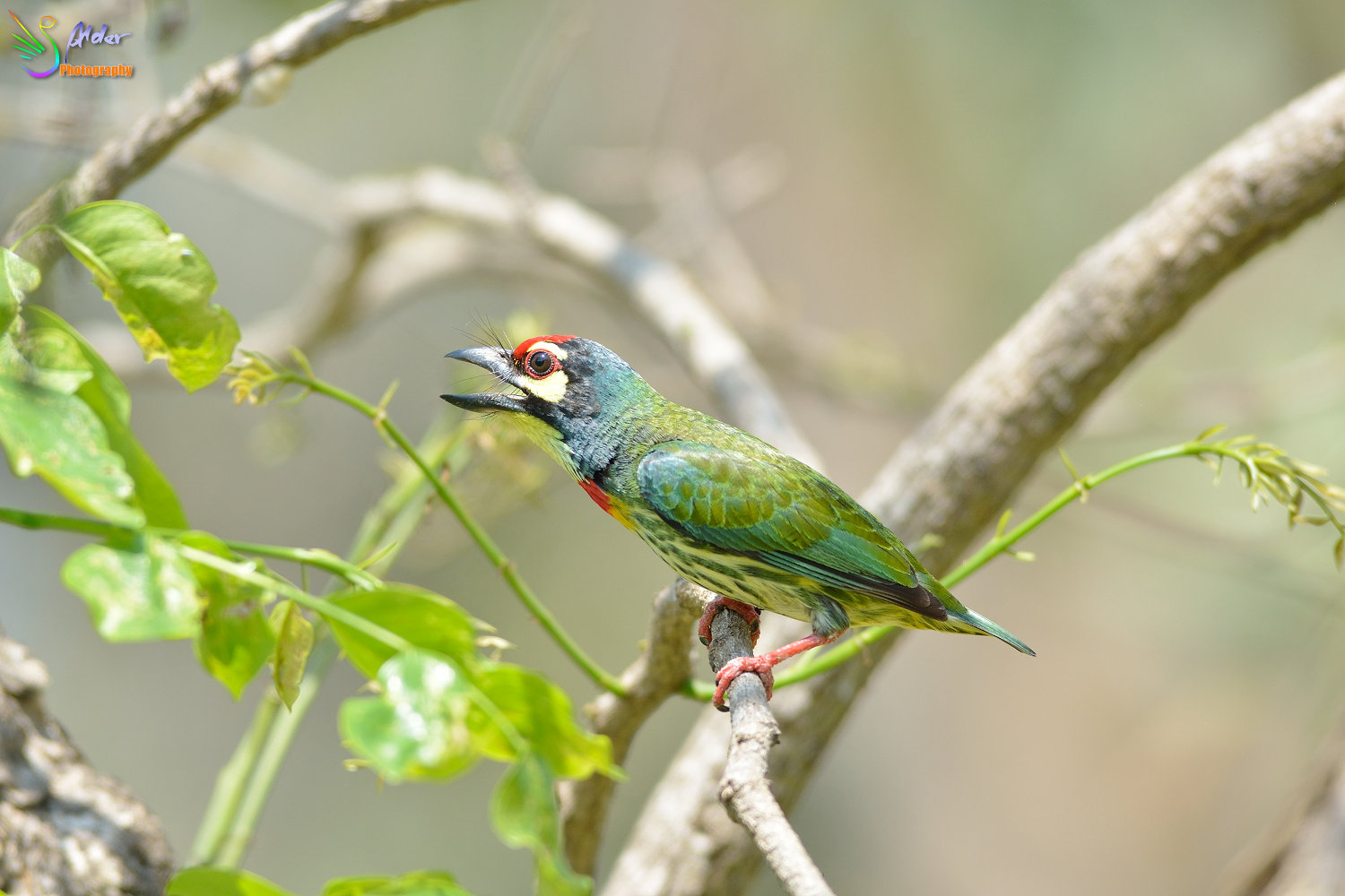 Coppersmith_Barbet_3124