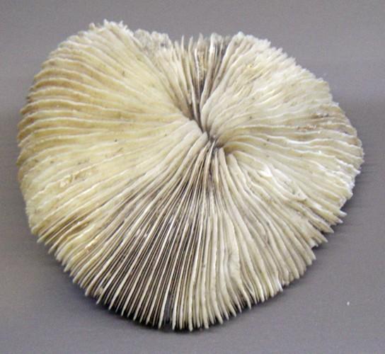 Fungia horrida 24523086520_c87eda44df_o