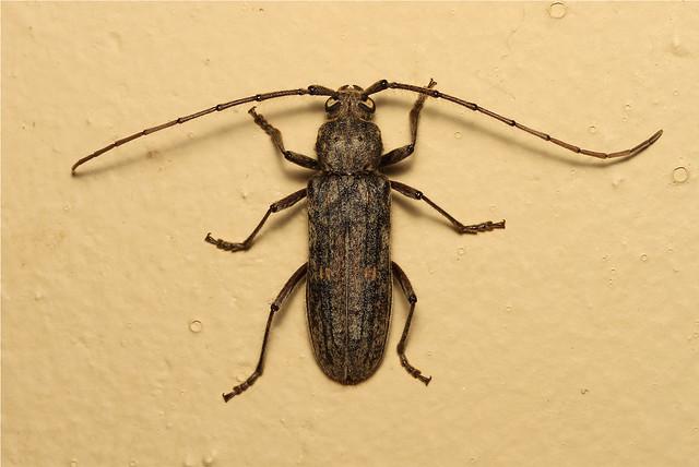 Cerambycidae, Zoodes liturifer - South Africa