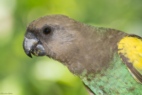 nikon flash botswana nata birdwatchers meyersparrot poicephalusmeyeri natalodge d7100