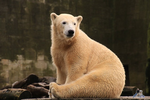 Eisbär Fiete im Zoo Rostock 06.02.2016  035