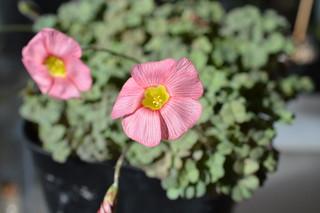 DSC_2432 Oxalis obtusa Jacq. 'High Pink '