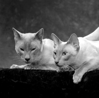 Blue Point Siamese cats - Tallahassee