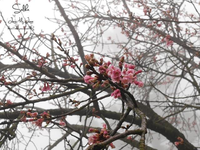 台北一日遊景點陽明山花季賞櫻花 (21)