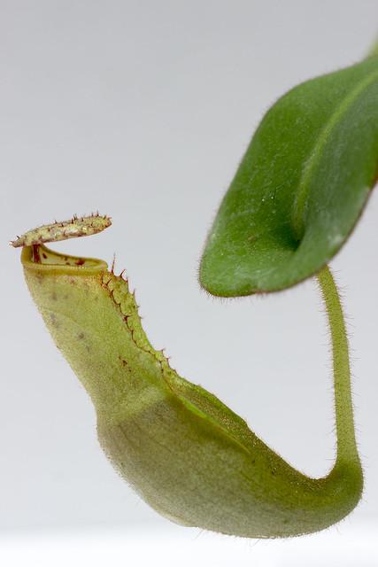 N. clipeata Clone U