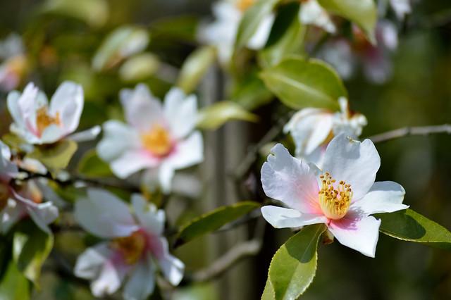 ツバキ Camellia -ユメノコマチ(夢小町)