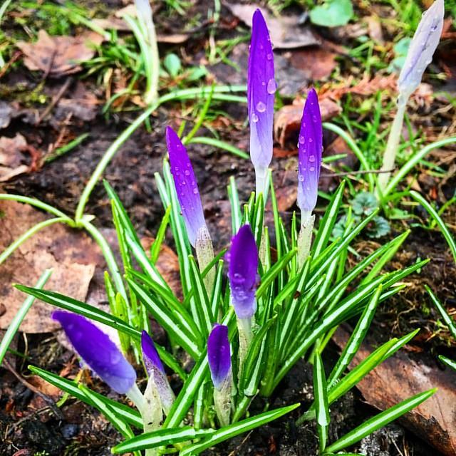 Весна 2016. Крокусы в Стрийском парке. Spring street crocuses. Lviv, Ukraine