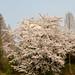 벚꽃 : Cherry Blossom