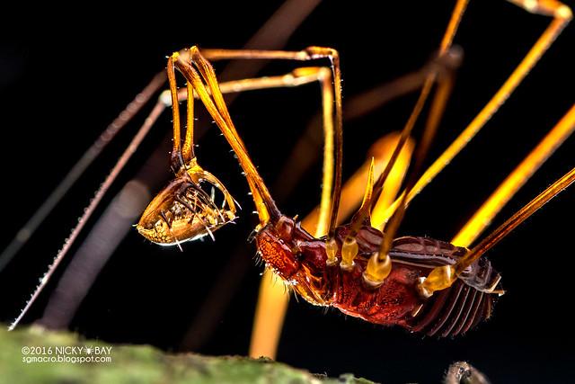 Harvestman (Epedanidae) - DSC_0357
