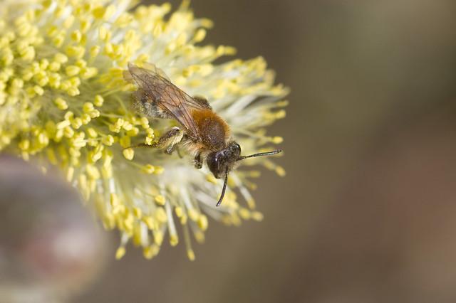 Andrena praecox (f)