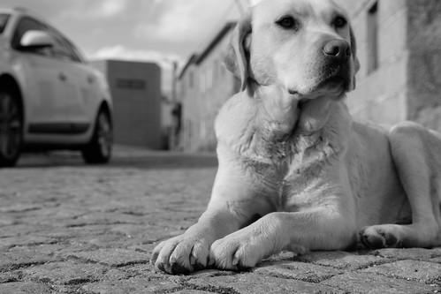 Untitled labrador