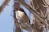 Woodchat Shrike by Josh13770