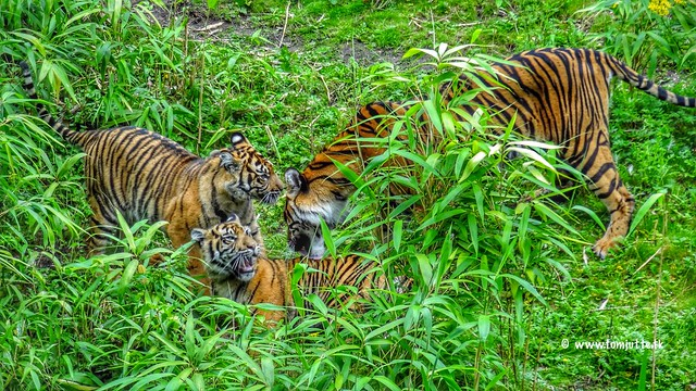 Sumatran tiger twins, Burgers Zoo, Netherlands - 3630