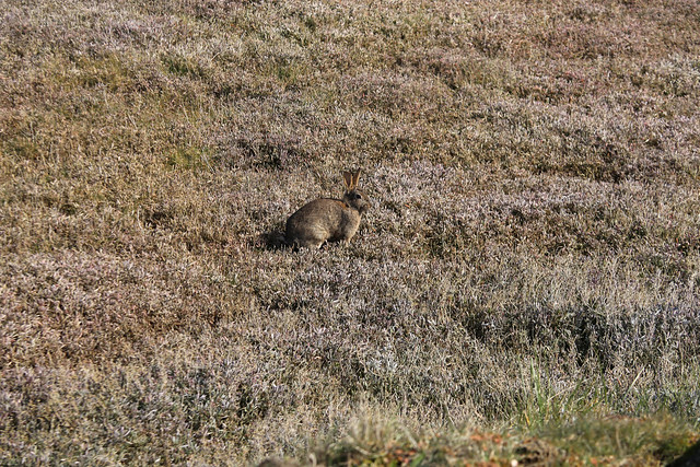 A Hare at Orford Ness