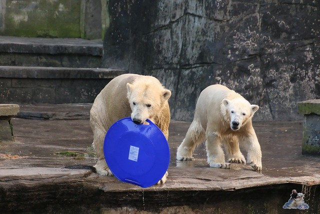 Eisbär Fiete im Zoo Rostock  064