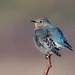 Mountain bluebird by Phiddy1