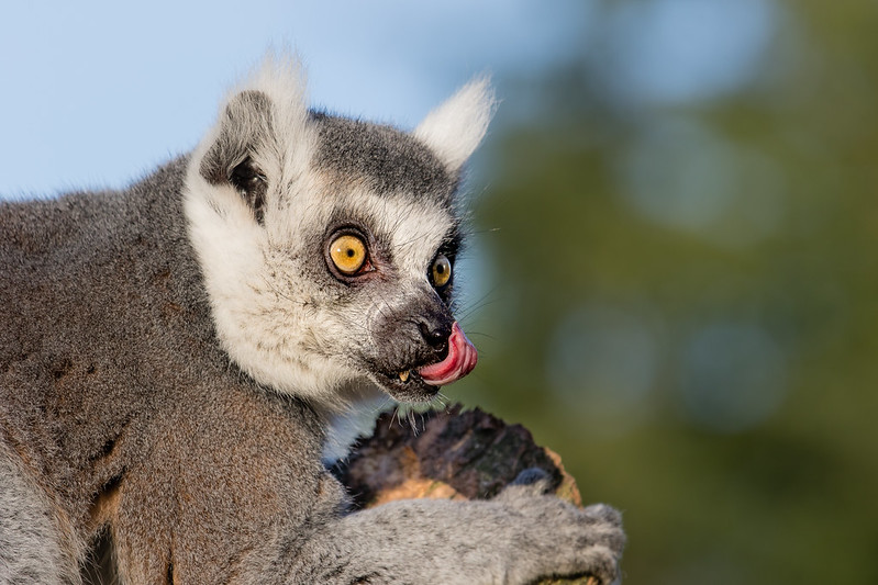 Ring-tailed lemur 2016-01-08-00705
