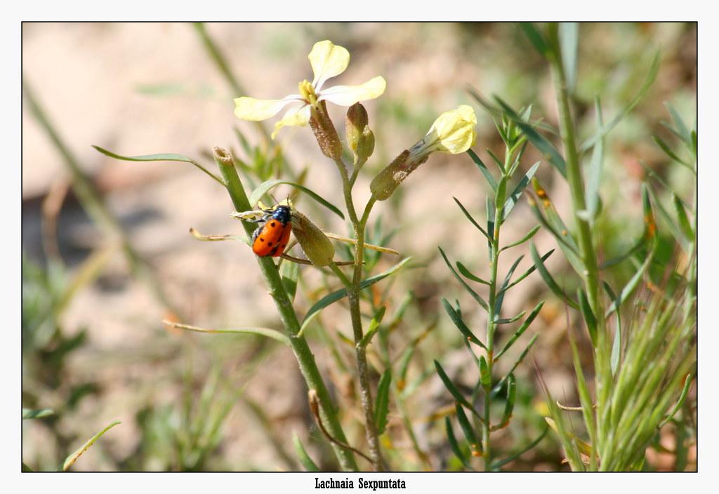 Lachnaia Sexpuntata
