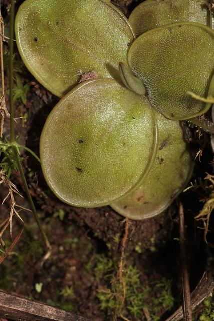 Pinguicula moranensis (Lentibulariaceae)