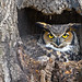 Female Great Horned Owl by Brian E Kushner
