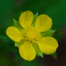 Small photo of Common Agrimony (Agrimonia gryposepala)
