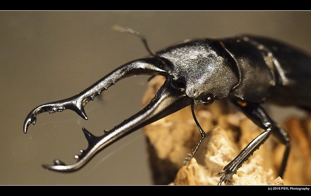 Stag beetle (Family Lucanidae)