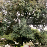 Ikaria's remotest hinterland 19 - the biggest holm oak