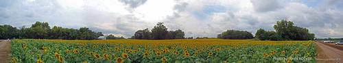 autostitch panorama field pano panoramic sunflowers sunflower kansas 180° grinterfarms