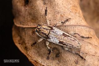 Longhorn beetle (Mimosybra mediomaculata) - DSC_5504