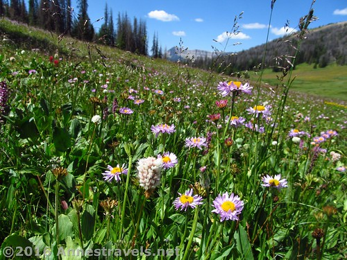 Wildflowers bloom in Bonneville Pass, Shoshone National Forest, Wyoming