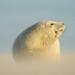 Grey Seal pup (Halichoerus grypus) by Jan Ranson