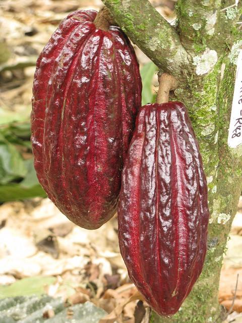 Kakao Panama