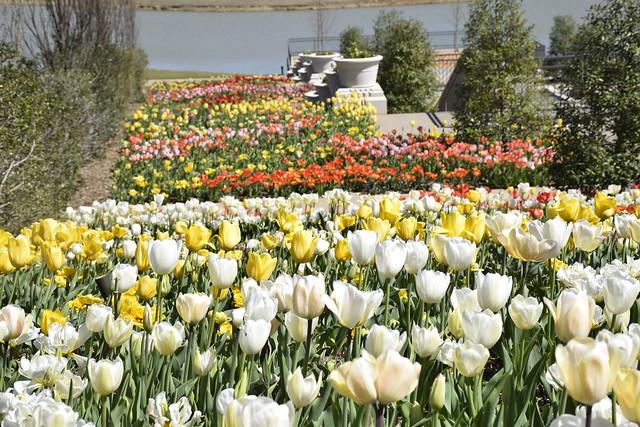 Springtime Tulips At Tulsa Botanic Garden