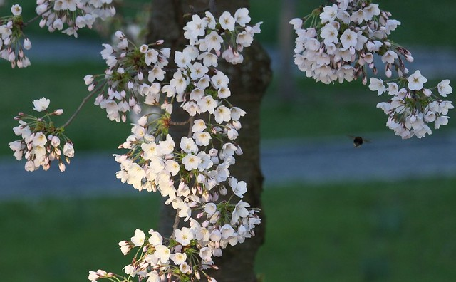 flowering cherry [Prunus serrulata]