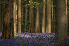 Early morning in Hallerbos