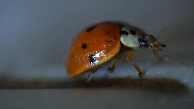 Lady Beetle Super Macro taken with a FUJI X-S1 using a Raynox M-150 DSCF8380