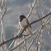 Dark-eyed Junco - O'Melveny Park, LA County, CA - 1:3:16 by jraymusic@att.net