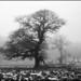 Old Oak by holtelars
