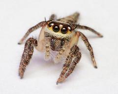 Jumping spider (Tribe: Hyllini)
