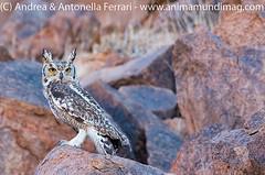 Cape Eagle Owl Bubo capensis