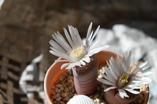 DSC_1641 Lithops villetii ssp. villetii  リトープス 麗典玉