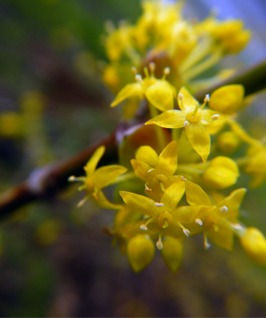 the clusters of tiny yellow flowers on the Japanese Cornelian tree in February