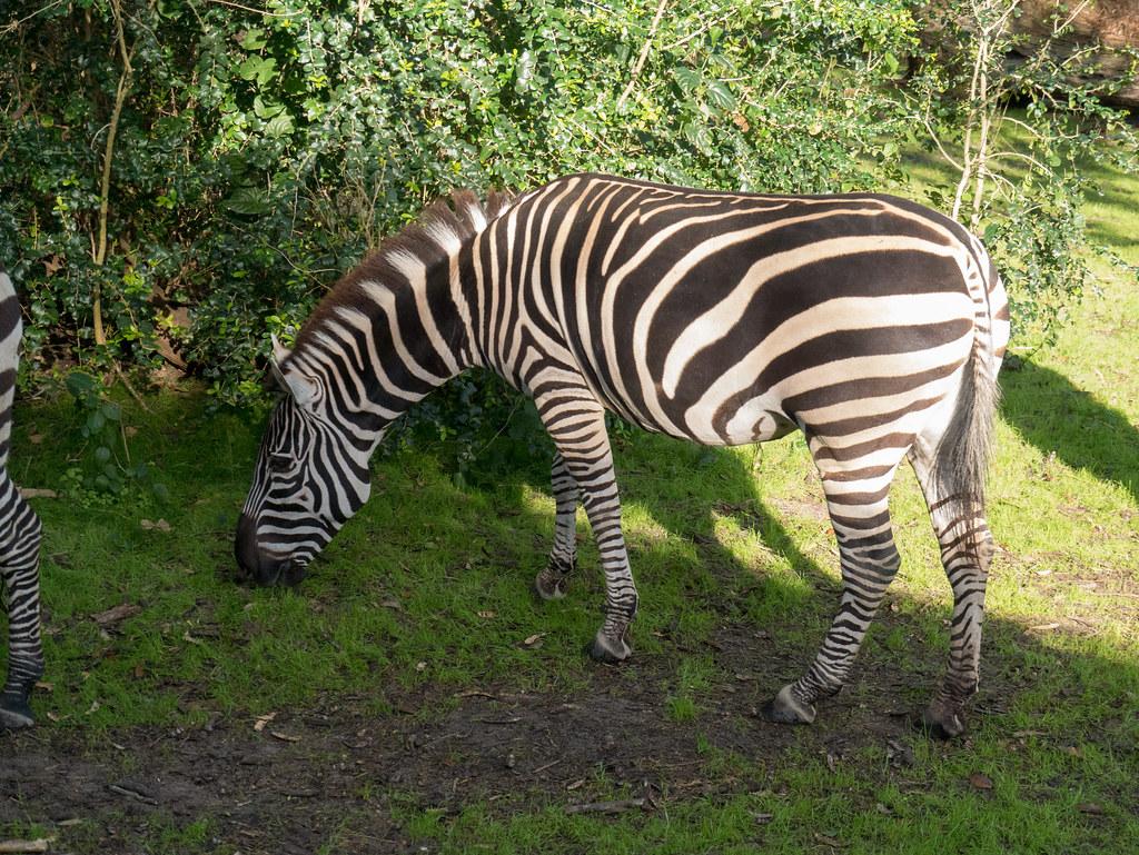 Kilimanjaro Safaris - zebra