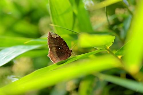 morning winter india macro nature butterfly asian nikon asia dof bokeh outdoor depthoffield tropical bengal basking nymphalidae satyrinae commonpalmfly elymniashypermnestraagina dimorphic nikond7000 tamronaf90mmf28dispam11macrolens