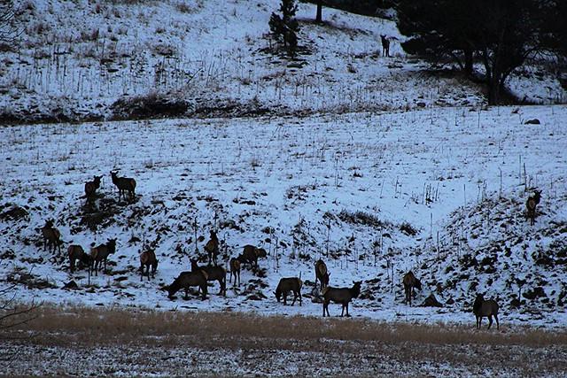 Elk on Hwy. 40