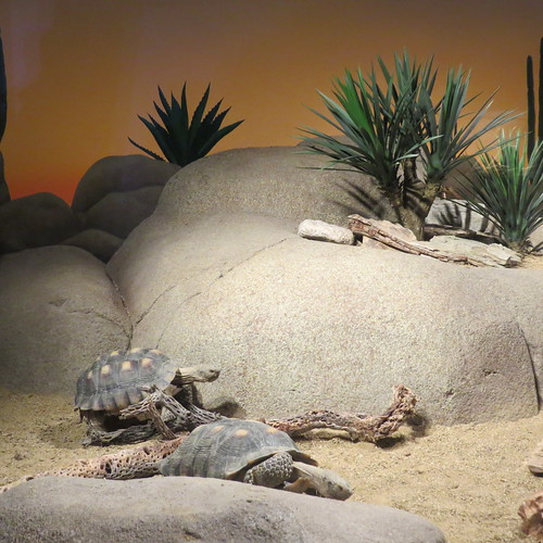 Desert Tortoises at ¡Viva Baja! Life on the Edge
